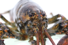 What'a you look'in at? Never seen a lobster before??